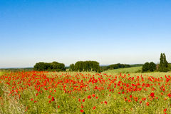 Poppies in beautiflul landscape royalty free stock images