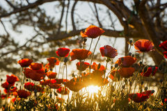 Poppies. Beautiful poppies in the morning sun Stock Photo
