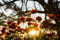 Poppies. Beautiful poppies in the morning sun Royalty Free Stock Photos