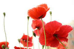 Poppies Stock Photos