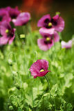 Poppies. The Beautiful summer poppy in my garden Royalty Free Stock Photography