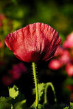 Poppies. The Beautiful summer poppy in my garden Royalty Free Stock Images