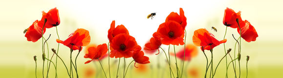 Poppies and bees. Wild red poppies with bees flying over stock photo