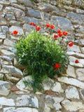 Poppies, Berat, Albania Royalty Free Stock Images