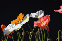 Poppies on Black BG. Colored poppies with black back ground royalty free stock image