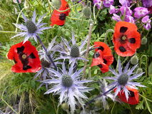 Poppies. Black spotted poppies growing with thistles Royalty Free Stock Image
