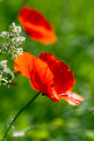 Poppies bloom in the green field. Royalty Free Stock Photography