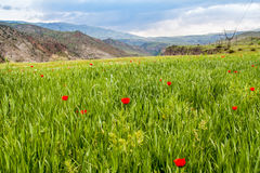 Poppies bloom in the mountains Stock Images