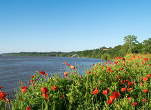 Poppies in bloom on shoreline of Mississippi River Royalty Free Stock Image