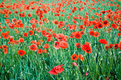 Poppies blooming Royalty Free Stock Photography
