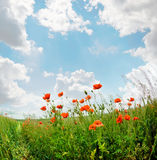 Poppies blooming. In the wild meadow high in the mountains Stock Images