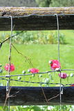 Poppies blooming behind wires Stock Photos