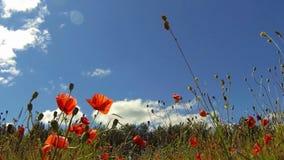 Poppies stock video