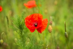 Blooming poppies in the field Stock Photos