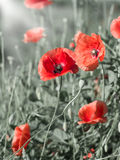 Poppies. Blooming field of red poppies in the field stock photography