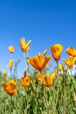 Poppies blooming on hillside royalty free stock photography