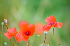 Poppies Blooming In Summer Field, Flowering Poppies And Poppy Seed Capsules Royalty Free Stock Photography