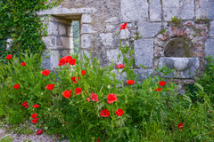 Poppies blooming near the wall Stock Photo