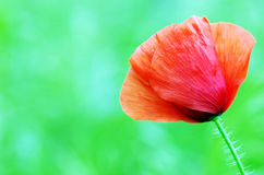 Poppies blooming Stock Photography