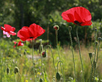 Poppies blooming and ripening Royalty Free Stock Photography