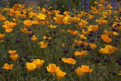 Poppies. Blooming Poppies in Sonoran Desert royalty free stock photos