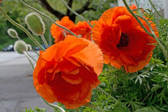 Poppies blossoming Royalty Free Stock Photography