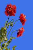 Poppies on Blue Background. Three red and pink Poppies on a blue background Stock Images