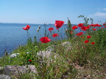 Poppies. By the blue sea Stock Photography