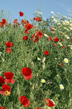 Poppies with blue sky Stock Images