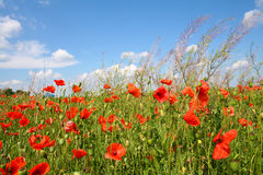 Poppies on blue sky. Background Royalty Free Stock Image
