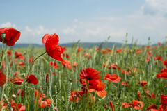 Poppies on blue sky background Royalty Free Stock Images