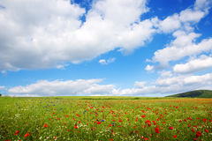 Poppies on blue sky background. Stock Image