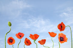 Poppies and blue sky Stock Photos