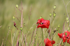 Poppies and boll on a green field Stock Images