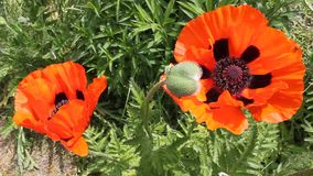 Poppies and bud. Poppies blooming and bud - macro in the breeze stock video footage