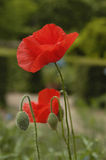 Poppies and buds Royalty Free Stock Photo