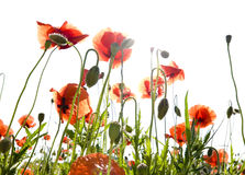 Poppies and buds back-light Royalty Free Stock Photo