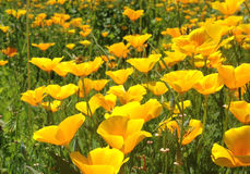 Poppies. California  are Royalty Free Stock Photography