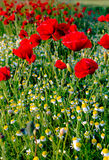Poppies and camomiles Stock Photo