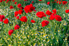 Poppies and camomiles Royalty Free Stock Image