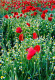Poppies and camomiles Stock Image
