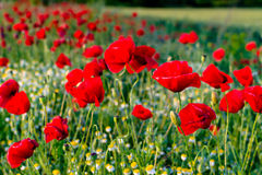 Poppies and camomiles Royalty Free Stock Photography