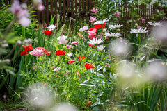 Poppies and chamomiles in the summer garden Stock Photo