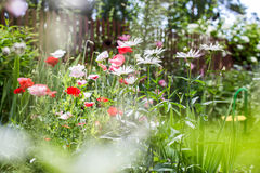 Poppies and chamomiles in the summer garden Stock Photography