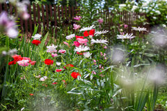 Poppies and chamomiles in the summer garden Royalty Free Stock Photos