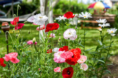 Poppies and chamomiles in the summer garden Royalty Free Stock Photo