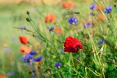Poppies, Charby, Flowers, Meadow Royalty Free Stock Photography