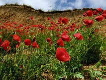Poppies on cliff side Royalty Free Stock Images