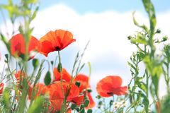 Poppies on clouds background Stock Images