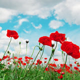 Poppies and  cloudy sky Royalty Free Stock Images